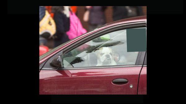 YaJagoff Blog Dog on Drivers Lap